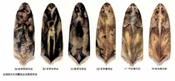 毛皮技术手册一次看懂六种北美野生原皮